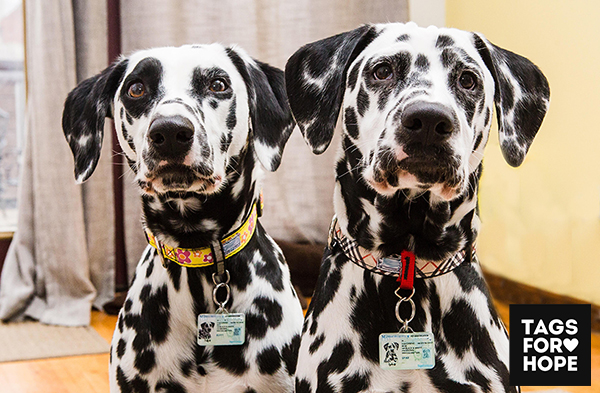 Buffy and Spike, two dalmatians showing off their tags.
