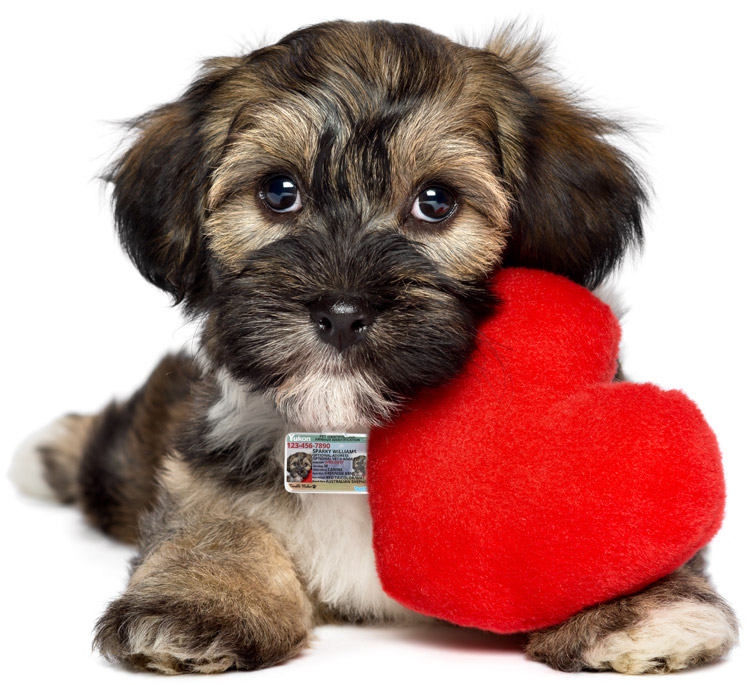 Cute image of a dog holding a heart