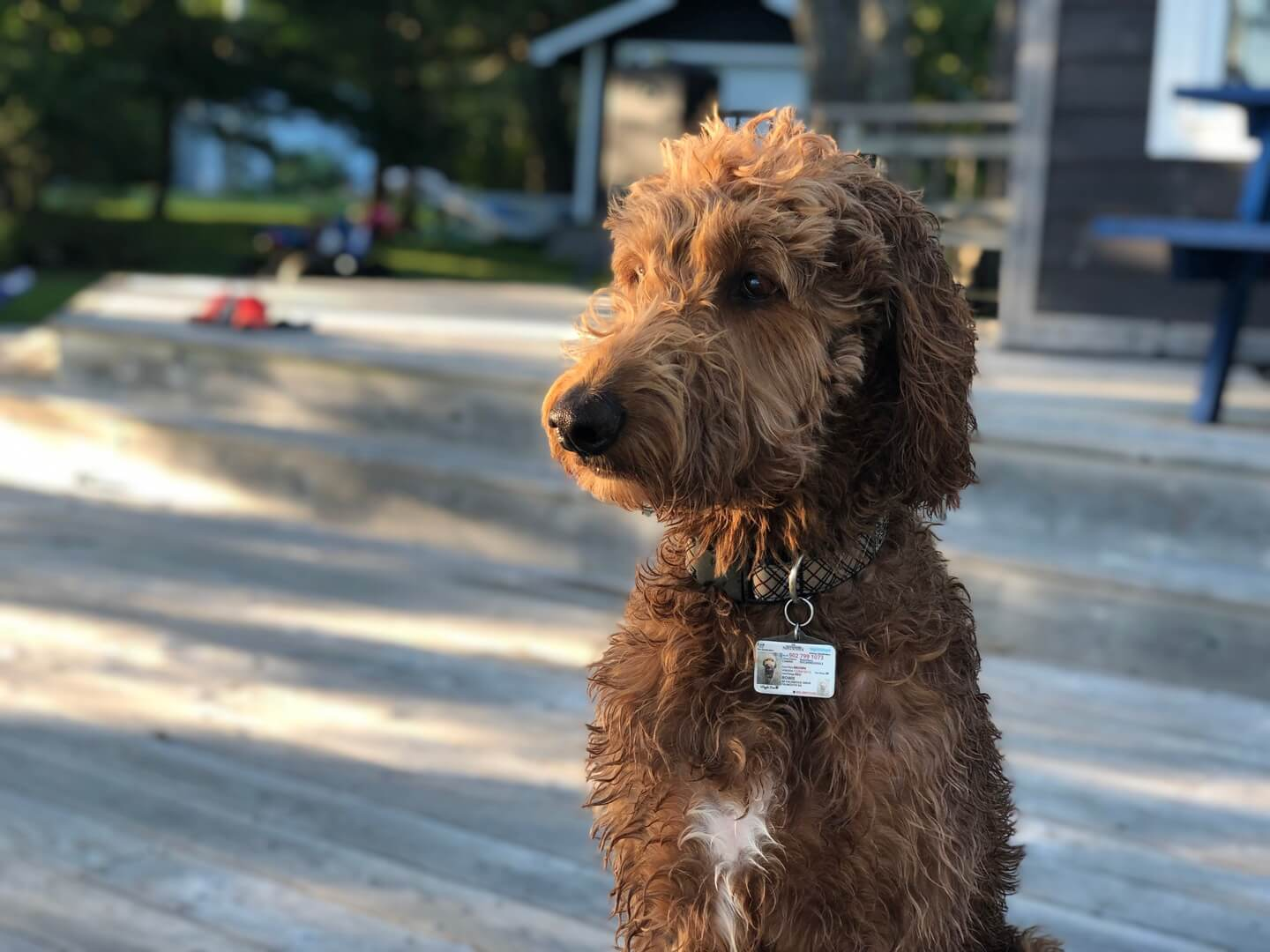 dog wearing a tag